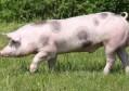 猪能用的你也能用,世界首例猪肾脏移植人体手术成功播报文章