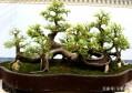 原来朴树也可以做盆景,而且还挺好看