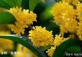 桂花——四大类主要二十五个名贵品种详介
