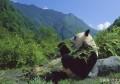 大熊猫下山偷笋,这个小偷挺可爱