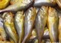 梅童鱼和黄鱼长相雷同,味道都非常鲜美,老渔民:不要面子就选它