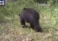 小兴安岭首次找到东北虎吃熊的珍贵影像证据
