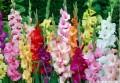剑兰花色寓意是什么?有哪些花意及象征?