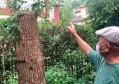 壹现场丨修剪自种香樟树被罚14万 当事人:以后还会剪 只是不敢这样剪了